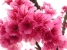 cherry-blossoms-flowers-bunch